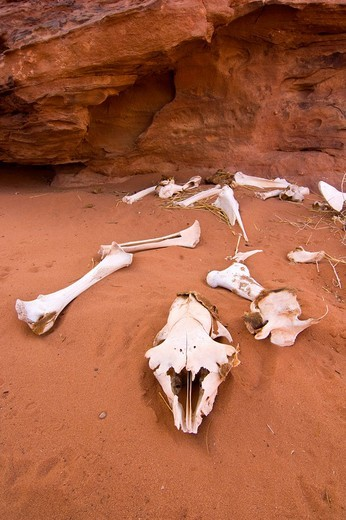Fragmented goat skeleton lying in the desert sand, Wadi Rum, Jordan, Middle East : Stock Photo