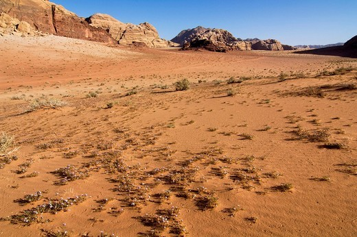 Flowers blossoming in the desert, Wadi Rum, Jordan, Middle East : Stock Photo