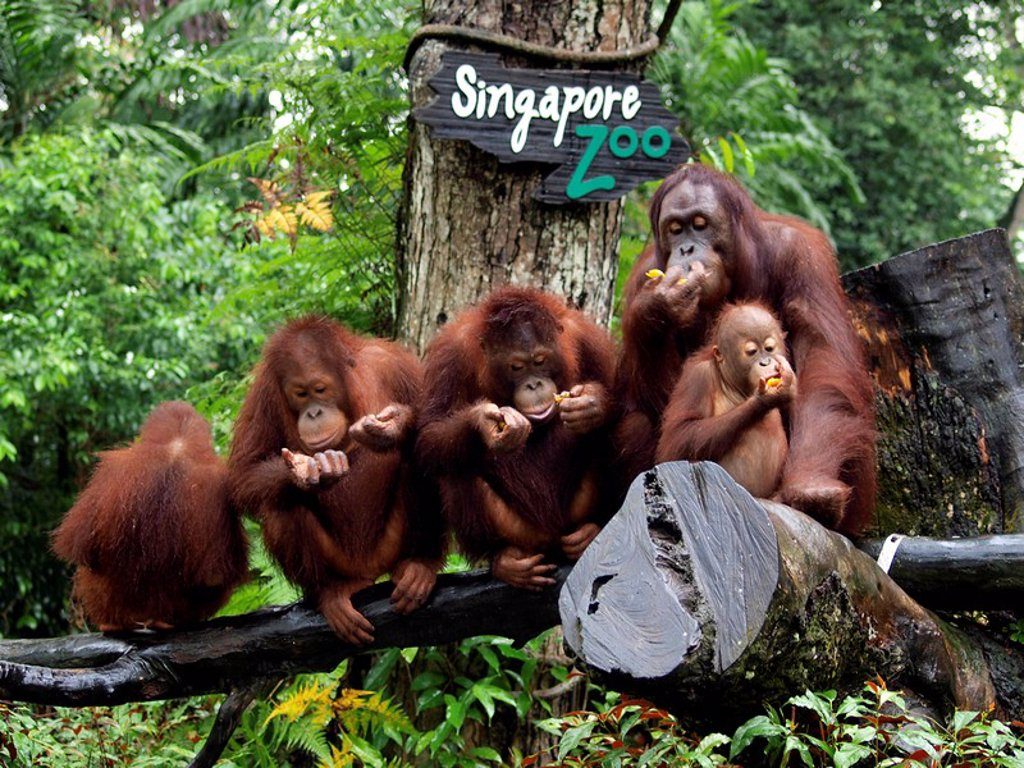 Orang_utans Pongo, Singapore Zoo, Singapore, Asia : Stock Photo