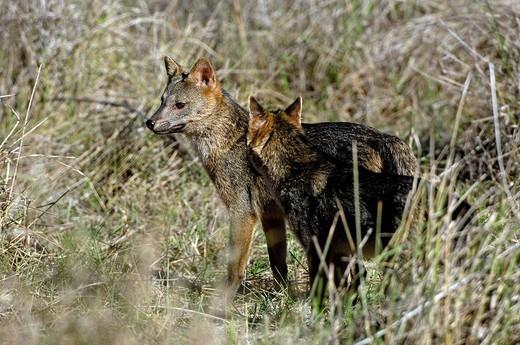 Fox, Cerdocyon thous, Pantanal, Brasil : Stock Photo