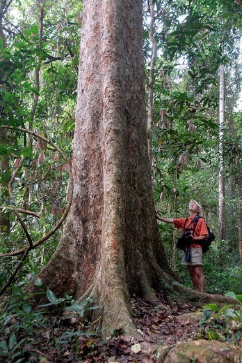 Stock Photo: 1848-13599 Giant tree, man standing in front of the tree in the jungle, mighty trunk and roots, Nam Lan Conservation Area, Boun Tai district, Phongsali province, Phongsaly, Laos, Southeast Asia, Asia