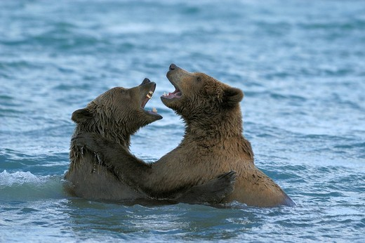 Alaska Brown Bear Ursus arctos, young bears play_fighting in the water : Stock Photo