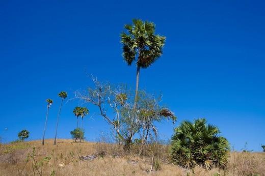 Asian Palmyra Palm or Toddy Palm or Sugar Palm Borassus flabellifer, Komodo Nationally Park, Komodo, Indonesia, Southeast Asia : Stock Photo