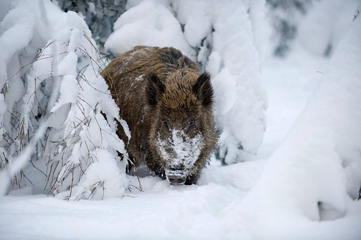 Wild Boar Sus scrofa in a heavily snow_covered forest, open_air enclosure, Bavarian Forest National Park, Bavaria, Germany, Europe : Stock Photo