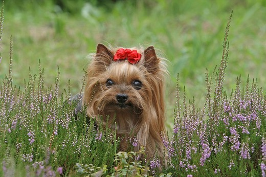 Stock Photo: 1848-138655 Yorkshire Terrier, female, 9 years old, behind Erica heather