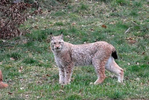 Stock Photo: 1848-139586 Lynx Lynx lynx at a zoo in Germany, Europe