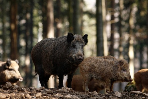 Stock Photo: 1848-139690 Wild Boars Sus scrofa in an outdoor enclosure in the Bayerischer Wald Bavarian Forest, Lower Bavaria, Bavaria, Germany, Europe