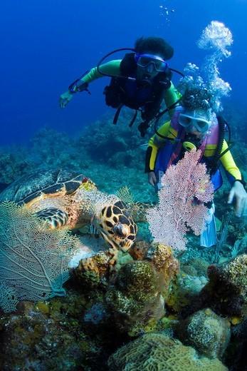 Stock Photo: 1848-139886 Young female scuba diver observing a Hawksbill Turtle Eretmochelys imbricata feeding, Roatán, Honduras, Caribbean, Central America