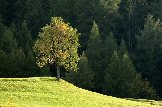 Pear tree, Pyrus communis, Villnoess valley, South Tyrol, Italy : Stock Photo