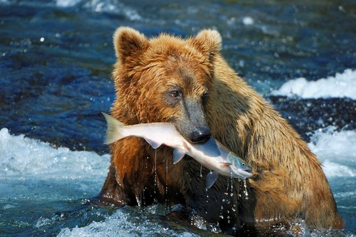Brown bear Ursus arctos with a caught salmon, Brooks River, Brooks Falls, Katmai National Park, Alaska, USA : Stock Photo
