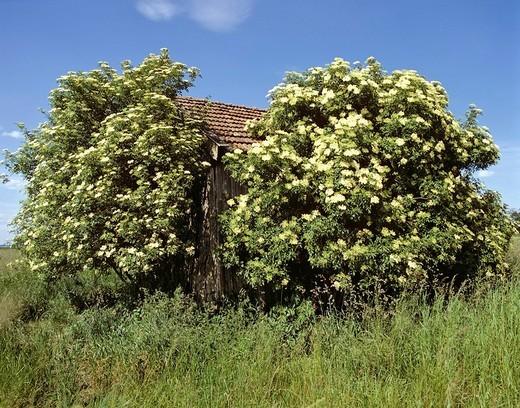 Barn between elder bushes : Stock Photo