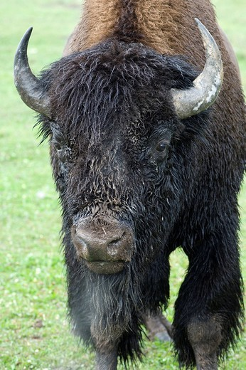 American Buffalo Bison bison, portrait of a bull in heat, Yellowstone National Park, Wyoming, USA : Stock Photo