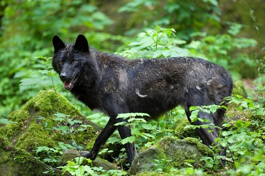 Stock Photo: 1848-1418 Eastern Canadian Wolf Canis lupus lycaon, black variant