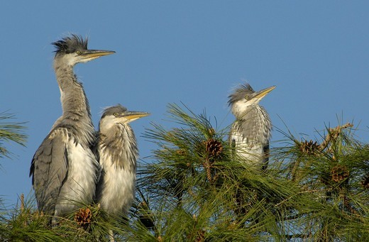 Stock Photo: 1848-143328 Young Grey Herons ardea cinerea