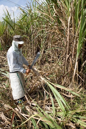Man harvesting sugarcane Saccharum, Mérida, Venezuela, South America : Stock Photo