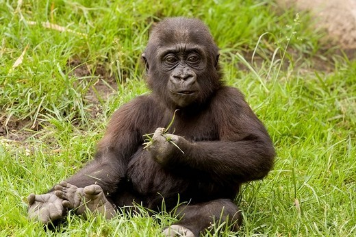 Western Gorilla Gorilla gorilla, young animal : Stock Photo