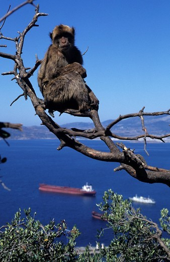 Stock Photo: 1848-145252 Monkeys of Gibraltar, macaques, British crown colony Gibraltar