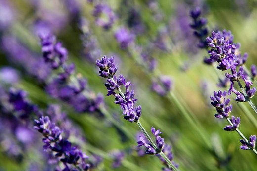 Stock Photo: 1848-146462 Lavender Lavandula