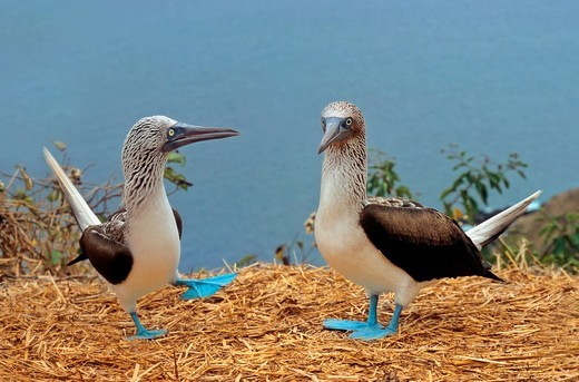 Stock Photo: 1848-147379 Courtship behavior of Blue footed booby Sula nebouxii