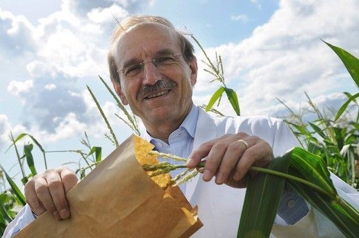 Prof. Dr. Melchinger, hybrid research, gathering pollen on the experimental corn field at the University of Hohenheim, Baden_Wuerttemberg, Germany, Europe : Stock Photo