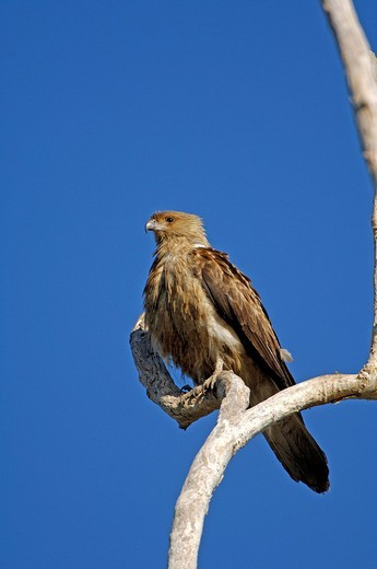 Whistling kite, Haliastur sphenurus, australien : Stock Photo