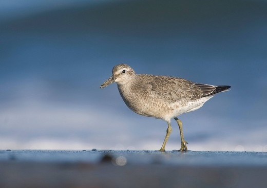 Knot Calidris canutus : Stock Photo