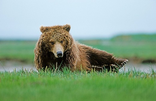 Brown bear Ursus arctos waking up, Katmai N.P., Alaska : Stock Photo