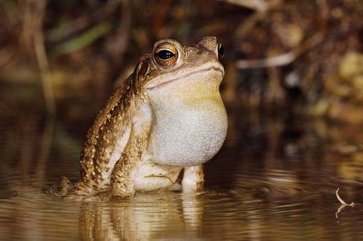 Gulf Coast Toad Bufo valliceps, male at night calling in spring fed pond, Uvalde County, Hill Country, Central Texas, USA : Stock Photo