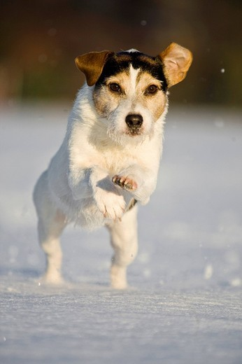 Stock Photo: 1848-152549 Parson Russell Terrier running in the snow