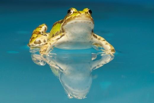 Stock Photo: 1848-153297 Edible frog Rana esculenta in the water