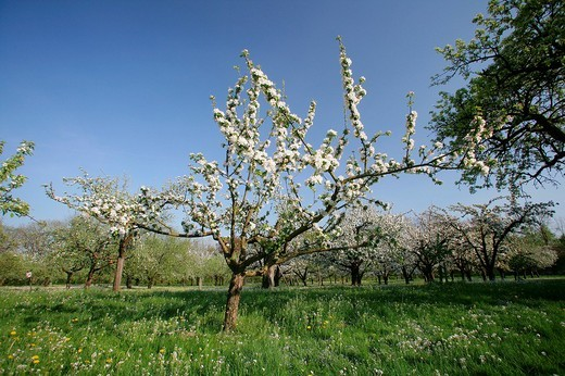 Blossoming apple trees Malus domestica on a mixed orchard, Upper Bavaria, Bavaria, Germany, Europe : Stock Photo