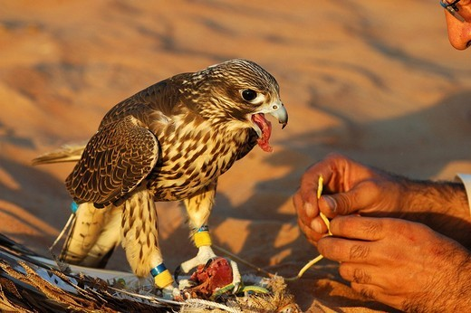 Stock Photo: 1848-153742 Feeding of a Gyrfalcon, Gyr Falcon Falco rusticolus, Dubai, United Arab Emirates, UAE, Middle East