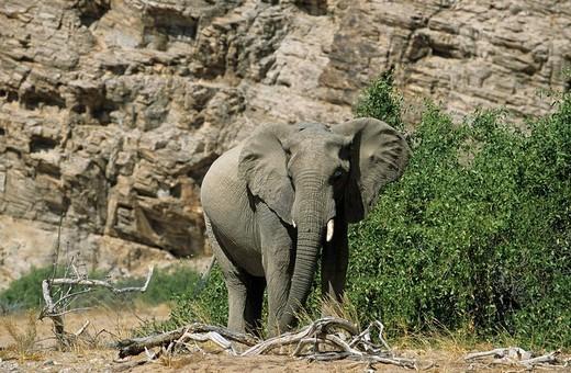 African Bush Elephant Loxodonta africana, Namibia, Africa : Stock Photo