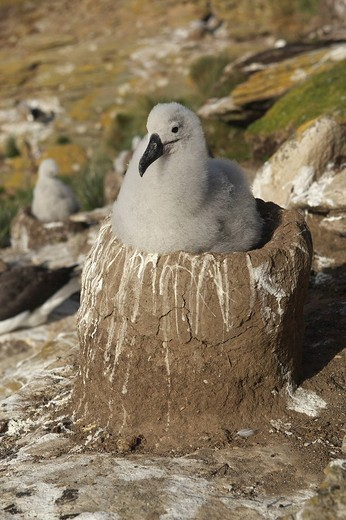 Black_browed Albatross or Black_browed Mollymawk Diomedea melanophris, Falkland Islands, South America : Stock Photo