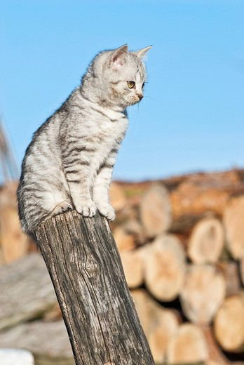 Stock Photo: 1848-154806 Domestic cat, 14 weeks, sitting on pole