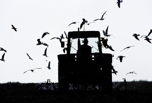 Seagulls around tractor ploughing on a field, Germany : Stock Photo