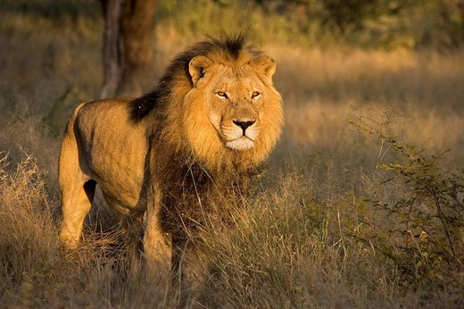 Full_grown lion Panthera leo, male, Namibia, Africa : Stock Photo