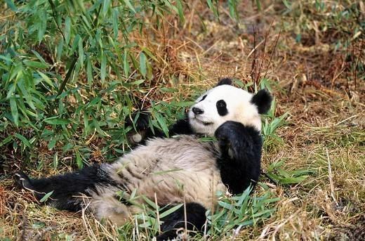 Great Panda Ailuropoda melanoleuca Wolong Valley Himalaya China : Stock Photo