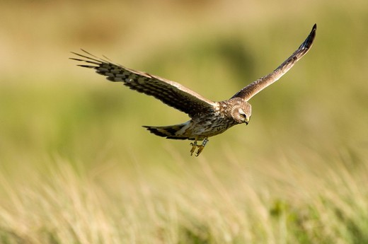 Hen Harrier Circus cyaneus : Stock Photo
