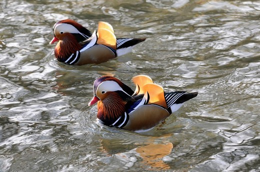 Mandarin Ducks Aix galericulata at a zoo in Bavaria, Germany, Europe : Stock Photo