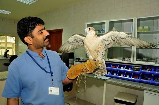 Keeper with a falcon, Abu Dhabi Falcon Hospital, Abu Dhabi, United Arab Emirates, Arabia, Middle East, Orient : Stock Photo