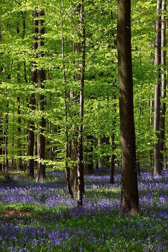 Stock Photo: 1848-158524 Bell flowers in the forest of Hallebos, Belgium, Europe
