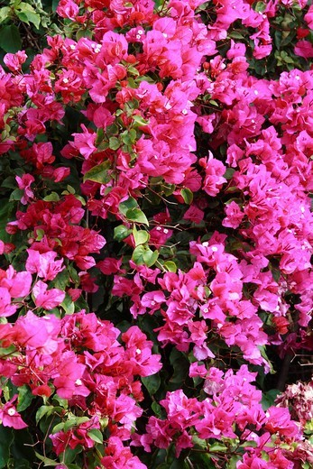 Stock Photo: 1848-159229 Pink Bougainvillea, Madeira, Portugal