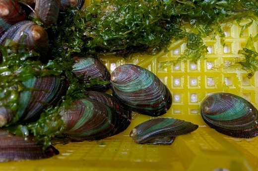Abalone mussels , 6 month old, at breeding farm, thailand : Stock Photo