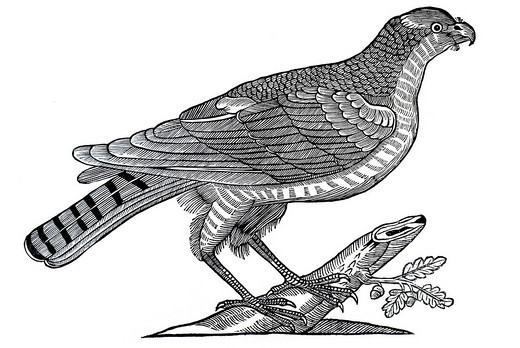 Stock Photo: 1848-160208 Woodcut, sparrow hawk, from: Conrad Gesner, Historia Animalum, 1551, Germany, Europe
