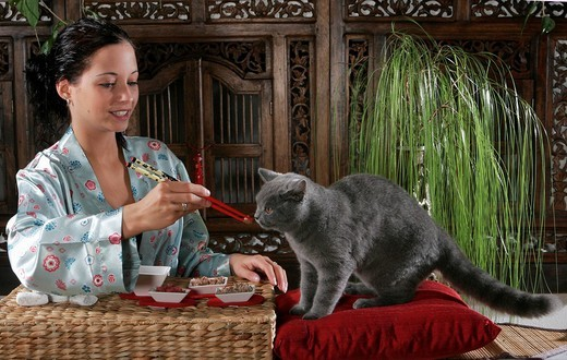Stock Photo: 1848-161129 Woman in Kimono feeding a Chartreux cat with chopsticks