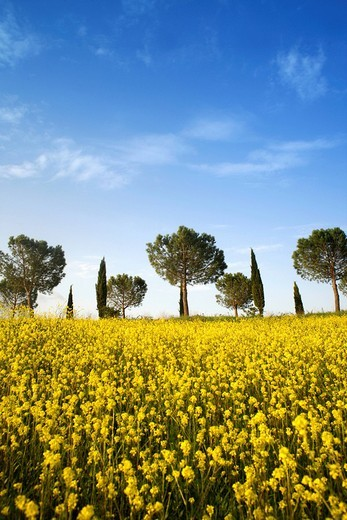 Rape field, cypress trees and pines near Casenove, Siena, Tuscany, Italy, Europe : Stock Photo