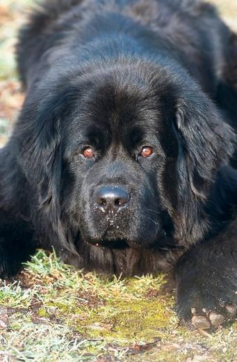 New Foundland Dog, Newfoundland Dog : Stock Photo