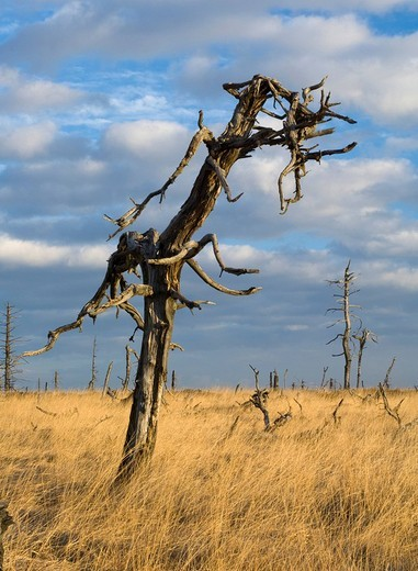 Dead tree, High Fens Hautes Fagnes, Hohes Venn moorland region, Belgium/Germany : Stock Photo