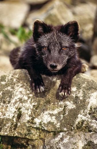 Young Arctic Fox Alopex lagopus, summer coat : Stock Photo